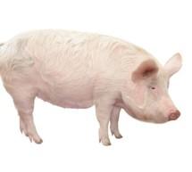 """""""Afrykański pomór świń- zasady ochrony świń przed chorobą"""" – film edukacyjny"""
