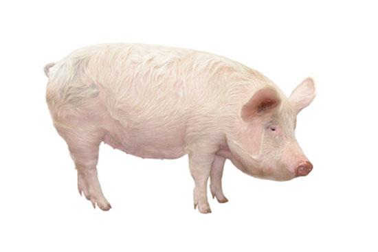 swinia-domowa